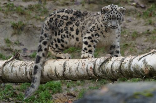snow leopard young playful