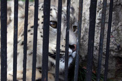Snow Leopard Behind Bars