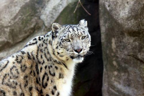Snow Leopard Standing