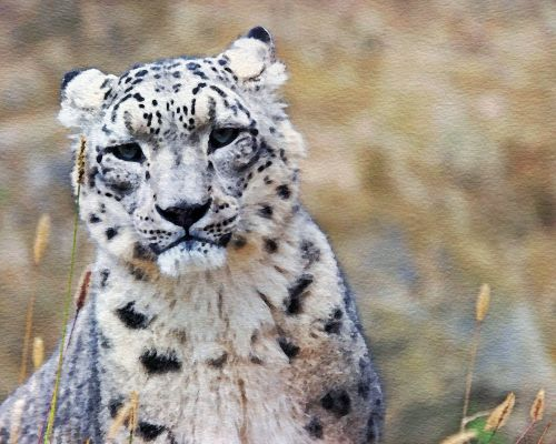 Snow Leopard Watercolor Painting