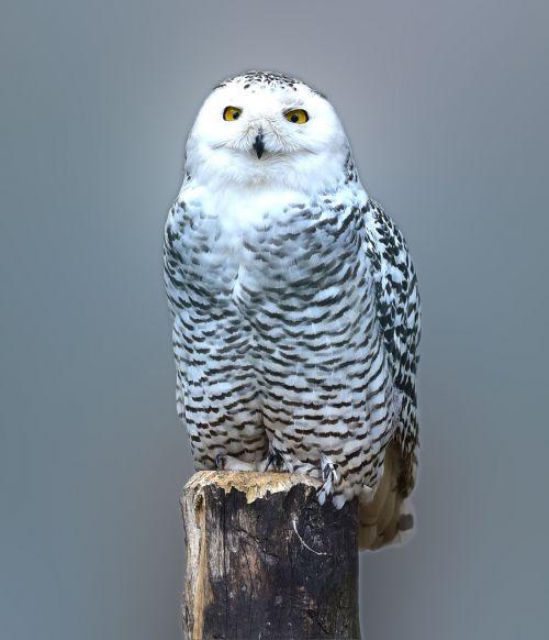 snow owl owl barn owl