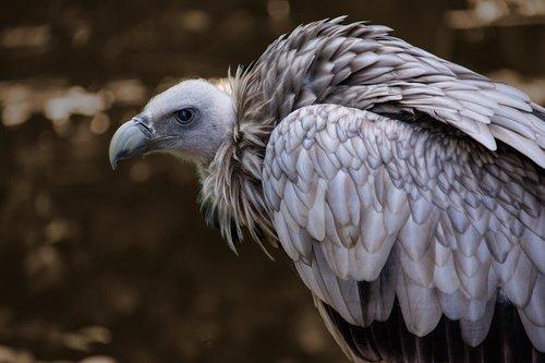 snow vulture  himalayan griffon vulture  gyps himalayensis