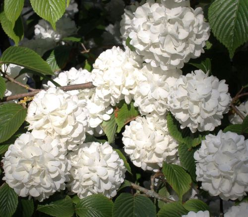 snowball blossoms flowers spring