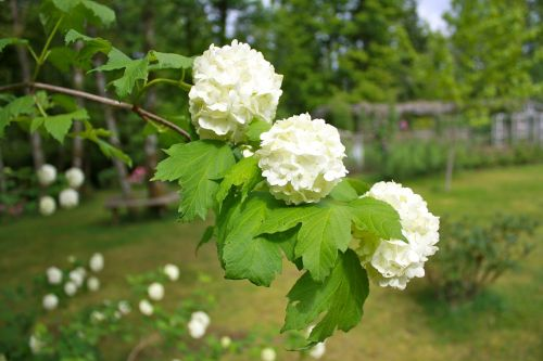 snowball tree,flowers,floral,white,blooms,spring,plant,garden,flora,flowering,blossoms,branch