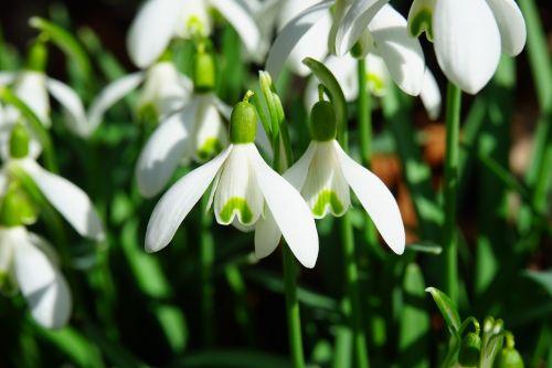 snowdrop flowers spring flower