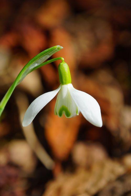 snowdrop blossom bloom