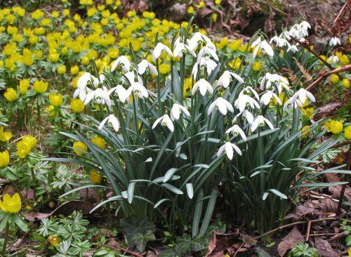 sniego danga,žiemos linge,pavasaris,sodas,ankstyvas bloomer,švelnus,Petite,metų laikas,pavasario požymiai,parkas,flora,gamta,balta geltona,gėlės,geltona,balta,augalas,Uždaryti,aštraus gėlė,balta žalia,balta gėlė,geltona balta,laukinės gėlės