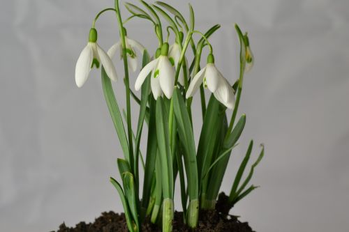 snowdrop flowers early bloomer