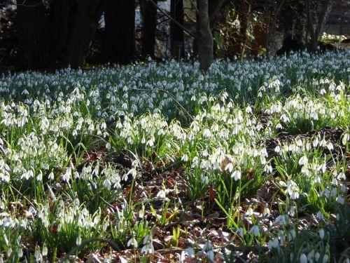 snowdrop forest spring