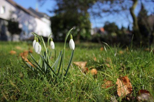 snowdrop spring signs of spring