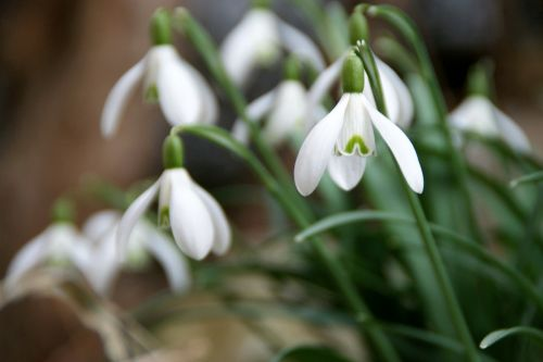 snowdrop flower early bloomer