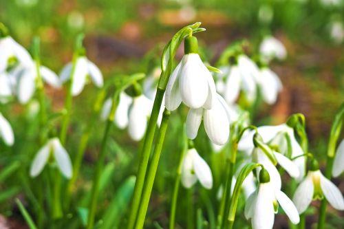 snowdrop flower spring