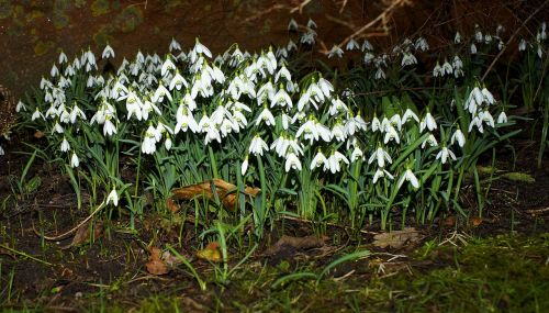 snowdrop flowers spring