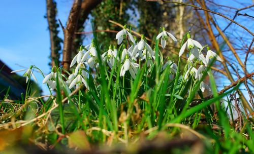 snowdrop flowers signs of spring