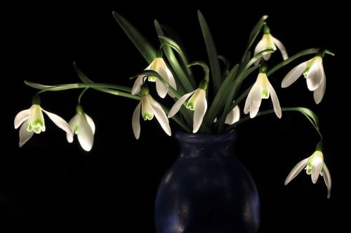 snowdrop early bloomer zwiebelpflanze