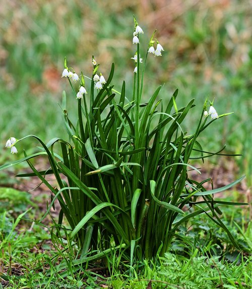 snowdrop  flower  common snowdrop
