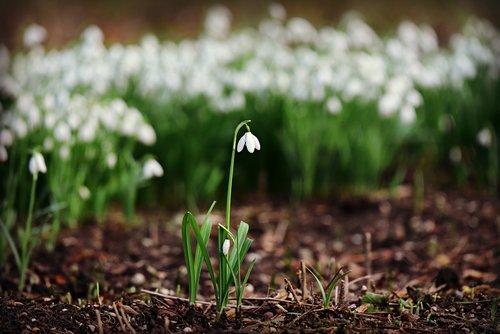 snowdrop  white flower  plant