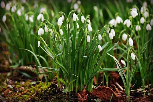snowdrop  winter flower  plant