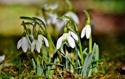 snowdrop  snow bell  spring bells