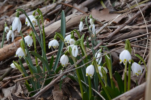 snowdrop  spring  nature