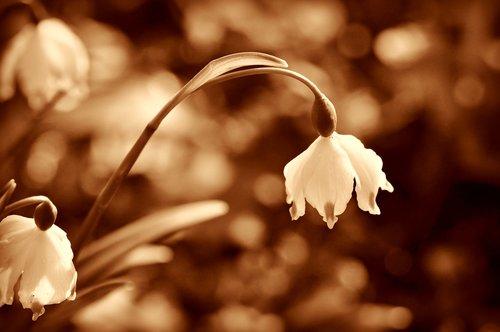 snowdrop  flower  winter flower