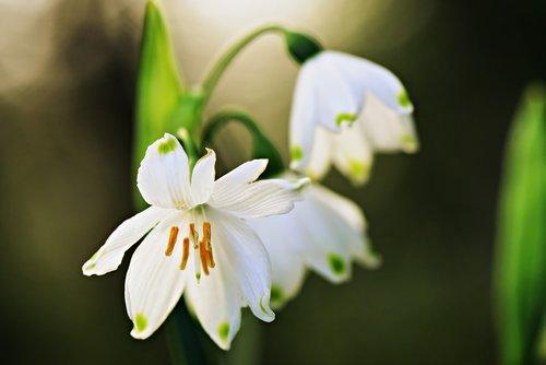 snowdrop  flower  pistil