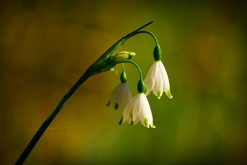 snowdrop  flower  plant