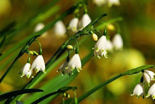 snowdrop  flower  springtime