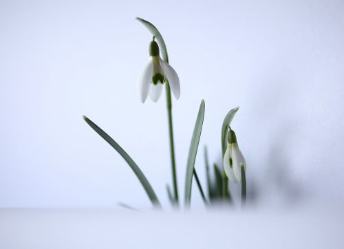 snowdrop harbinger of spring white