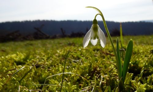 snowdrop spring grass