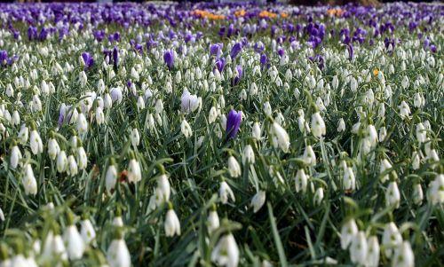snowdrop galanthus amaryllidaceae