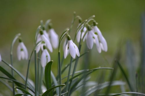 snowdrop nature flower