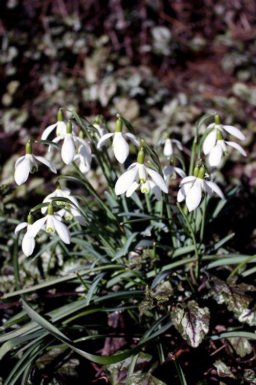 snowdrop galanthus nivalis spring