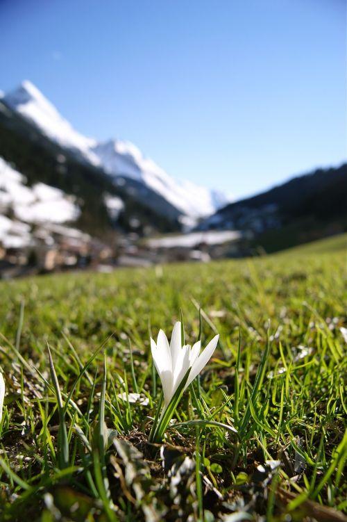 sniego danga, gėlė, Alpės, kalnai, ve, austria, gamta, pavasaris, gyvoji gamta, žalumos, žydėti, gėlės