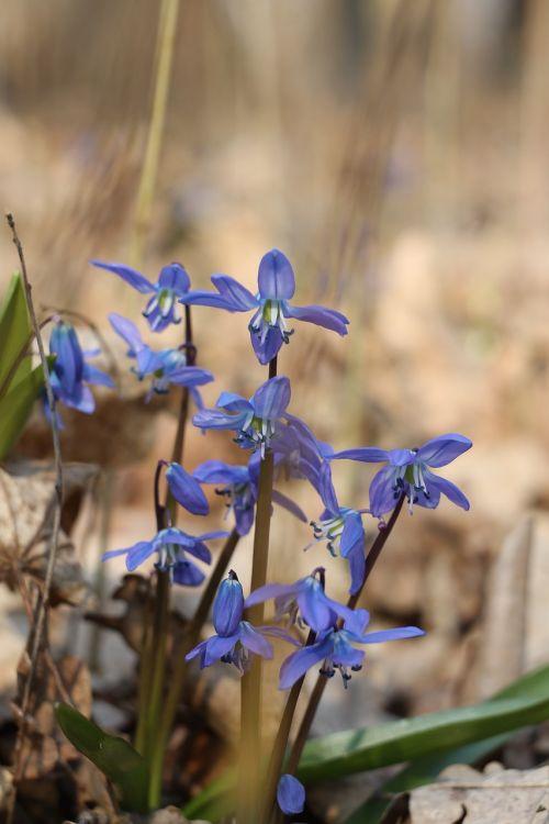 snowdrop snowdrop blue flowers blue flowers
