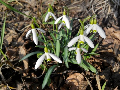 snowdrops flowers white