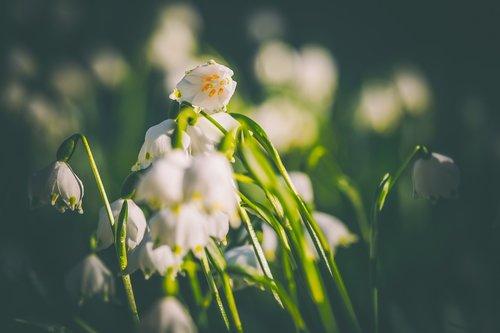 snowflake  flower  blossom