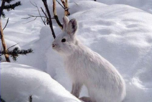 snowshoe hare rabbit hare