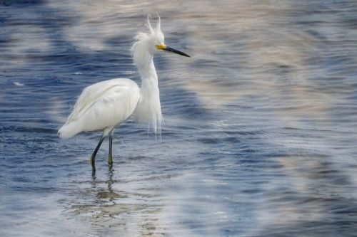 snowy egret birds nature