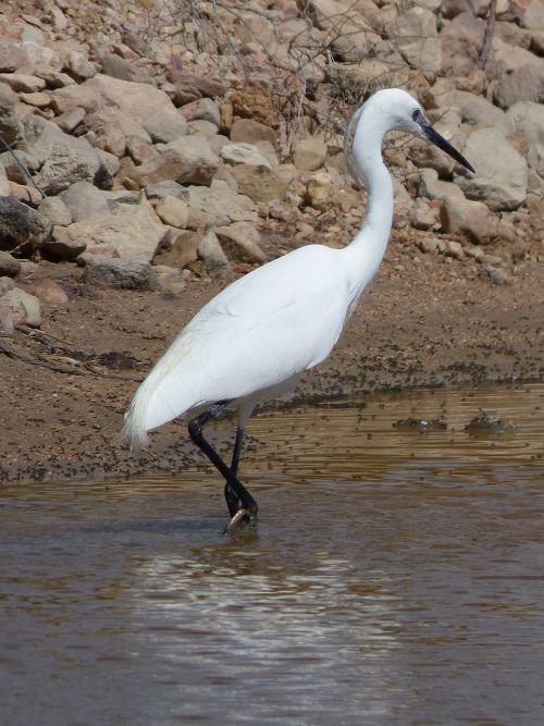 snowy egret egretta garzetta water bird little egret
