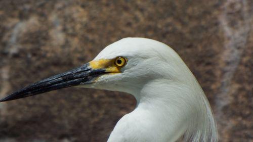 snowy egrets bird egret