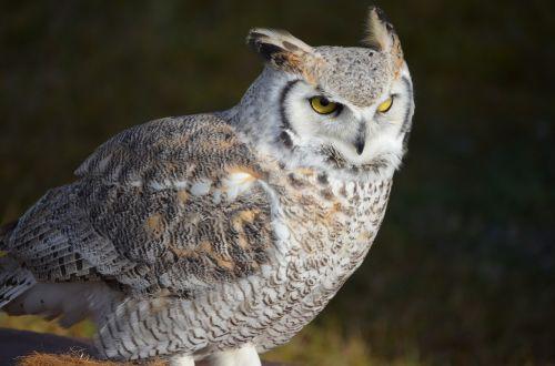 snowy owl owl eagle owl