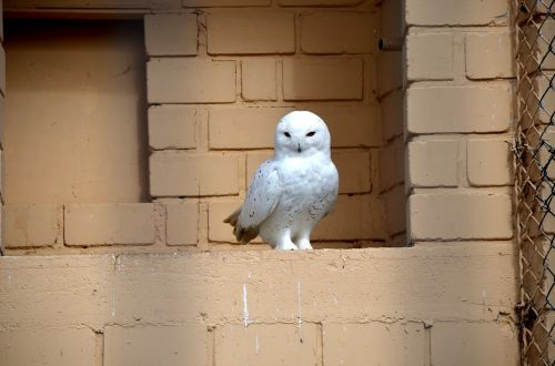 snowy owl bird raptor