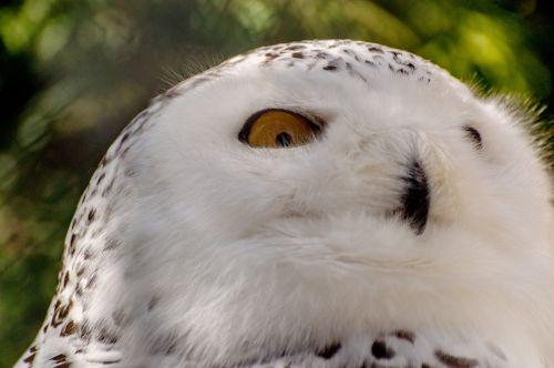 snowy owl bird mountsberg raptor center