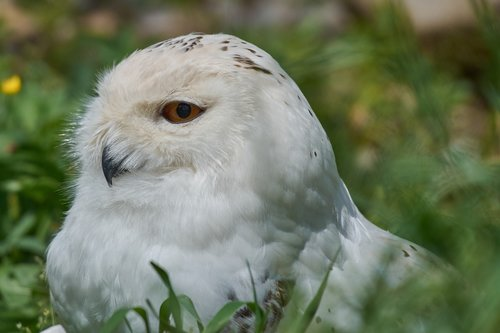 snowy owl  white  breed