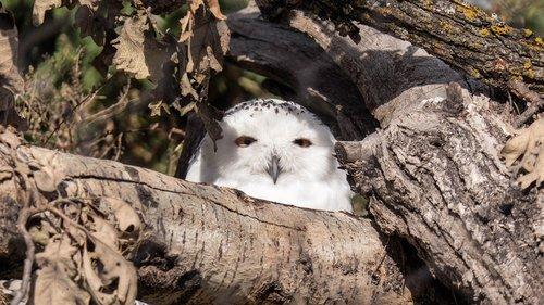 snowy owl  owl  raptor