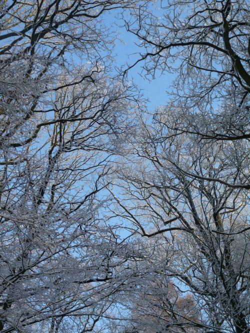 Snowy Tree Tops