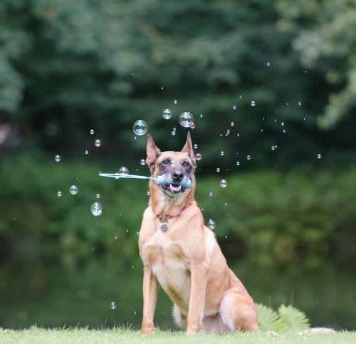 soap bubbles dog trick dog shows a trick
