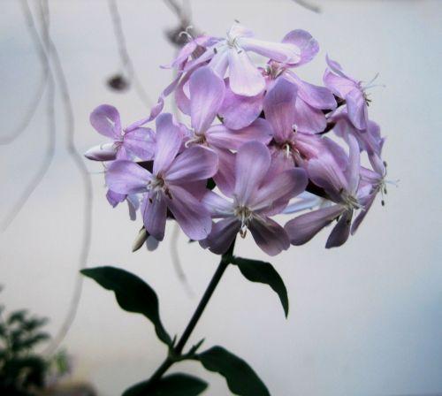 soapwort flowerhead florets
