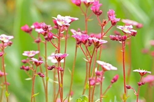 soapwort  spring flower  stone bed